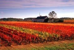 vingårdar arkivbilder