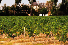 vingårdar royaltyfria bilder