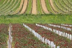 2 vingårdar fotografering för bildbyråer