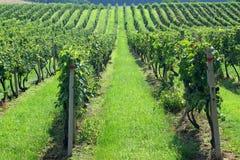 vingårdar Arkivfoton