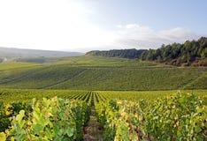 Vingårdar av Chablis, Bourgogne (Frankrike) Royaltyfria Foton