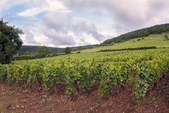Vingårdar av det Dijon området i den Frankrike Augusti månaden fotografering för bildbyråer