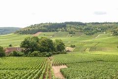 Vingårdar i den FFrench Bourgogne Arkivfoton