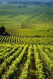 Vingårdar i den Gevrey chambertinen burgundy Frankrike Royaltyfri Fotografi