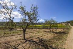 Vingårdar i ibizaen, Spanien Arkivbild