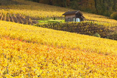 Vingårdar i Lavaux - Terrasse de Lavaux, Schweiz Royaltyfri Bild