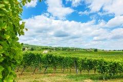 Vingårdar i ny Villà ¡, Ungern, sommar av 2015 Fotografering för Bildbyråer