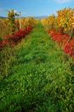 vingårdar ii Arkivfoto
