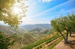 Vingårdar och olivträd i den Douro dalen nära Lamego, Portugal royaltyfri fotografi