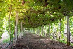 Vingårdar och organisk druva på vinrankafilialer arkivbild