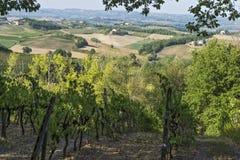 Vingårdar på de Siena kullarna i Tuscany Arkivbilder