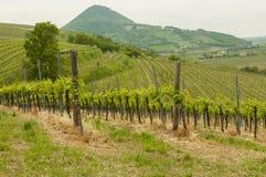Vingårdar på Euganean kullar, Veneto, Italien under våren Arkivbilder