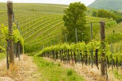 Vingårdar på Euganean kullar, Veneto, Italien under våren Royaltyfria Bilder
