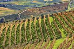 Vingårdar på fallen. Piedmont Italien. royaltyfri foto