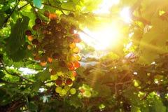Vingårdar på solnedgången i höst skördar mogna druvor Royaltyfri Fotografi