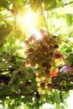 Vingårdar på solnedgången i höst skördar mogna druvor Arkivbilder