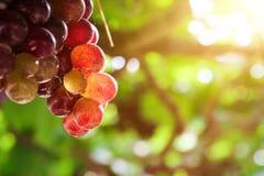 Vingårdar på solnedgången i höst skördar mogna druvor Arkivbild