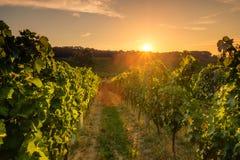 Vingårdar på solnedgången, Tjeckien royaltyfria foton