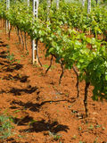 vingårdbarn Arkivbilder