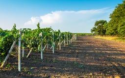 Vingårdfält med vinrankapilar Royaltyfri Foto