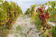 Vingårdfärger i början av hösten i de Monferrato kullarna Piedmont, Italien Royaltyfri Foto