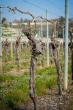 Vingårditalienare sätter in vin royaltyfria bilder