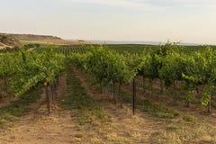 Vingårdlandskap med bevattningsystemet med droppande av vatten, på solnedgången Raïmat viner Caberneet Sauvignon Merlot syrah, Py arkivbilder