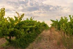 Vingårdlandskap med bevattningsystemet med droppande av vatten, på solnedgången Raïmat viner Caberneet Sauvignon Merlot syrah, Py royaltyfri foto