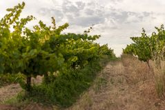 Vingårdlandskap med bevattningsystemet med droppande av vatten, på solnedgången Raïmat viner Caberneet Sauvignon Merlot syrah, Py royaltyfria bilder