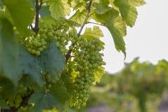 Vingårdlandskap med bevattningsystemet med droppande av vatten, på solnedgången Raïmat viner Caberneet Sauvignon Merlot syrah, Py arkivfoton