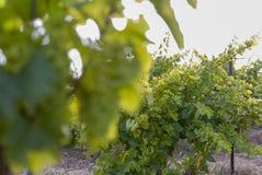 Vingårdlandskap med bevattningsystemet med droppande av vatten, på solnedgången Raïmat viner Caberneet Sauvignon Merlot syrah, Py fotografering för bildbyråer