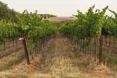 Vingårdlandskap med bevattningsystemet med droppande av vatten, på solnedgången Raïmat viner Caberneet Sauvignon Merlot syrah, Py royaltyfri bild
