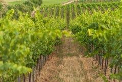 Vingårdlandskap med bevattningsystemet med droppande av vatten, på solnedgången Raïmat viner Caberneet Sauvignon Merlot syrah, Py royaltyfria foton