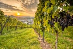 Vingårdlandskap med vinrankadruvor och solnedgång arkivfoto