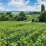 Vingårdlandskap, Montagne de Reims, Frankrike Royaltyfria Foton