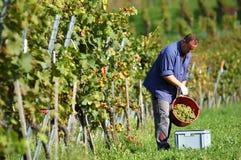 vingårdvintner Royaltyfri Bild