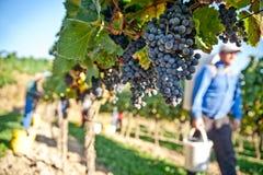 vingårdworking Arkivbilder