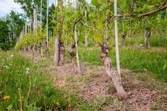 Ving?rd Vinodling n?ra Barolo, Langhe, Piedmont, Italien, Unesco-arv Dolcetto Nebbiolo Barbaresco r?tt vin fotografering för bildbyråer