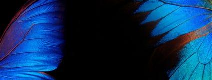 Vingar av en fjäril Ulysses och Morpho Vingar av en fjärilstexturbakgrund closeup royaltyfria bilder