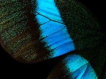 Vingar av fjärilen Papilio blumei Arkivfoton