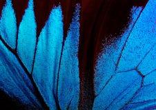 Vingar av fjärilen Ulysses closeup Royaltyfria Bilder