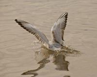 Vingar av seagullen royaltyfri bild