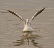 Vingar av seagullen arkivfoton