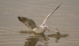 Vingar av seagullen fotografering för bildbyråer