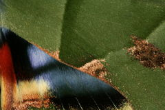 vingar för mal s Fotografering för Bildbyråer