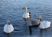 vingar för swan för den caspian för den cygnuskazakhstan stumma oloren floden för regionen övervintrar fördelande Arkivbilder