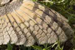 Vinge av ugglan på gräset royaltyfri fotografi