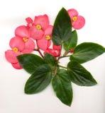 vinge för begoniadrakeblomma arkivfoto