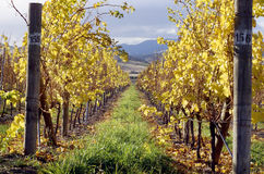 vingård Arkivfoto