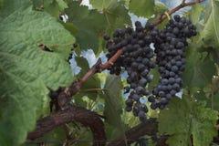 vingård för skottpengar s Arkivbilder